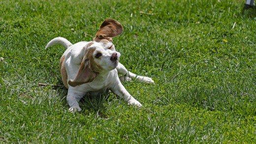 Como Eliminar las Garrapatas de los Perros Remedios Caseros