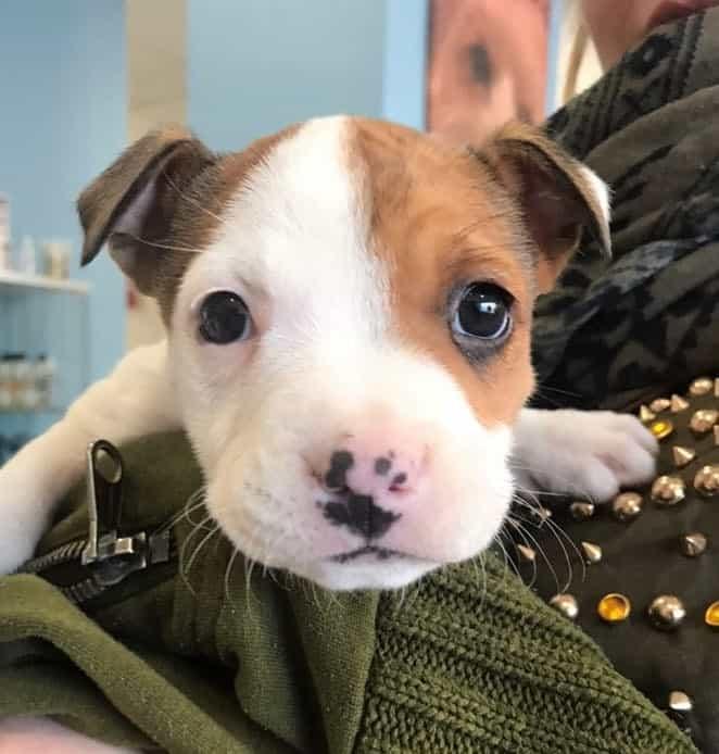 Cuanto Tiempo Dura el Parvovirus en un Cachorro