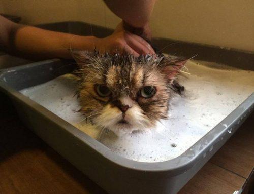 Es Recomendable Bañar a los Gatos