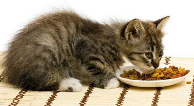 Los Gatos Pueden Comer Comida de Perro