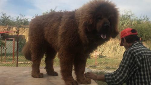 Los Perros Más Grandes Del Mundo Reales