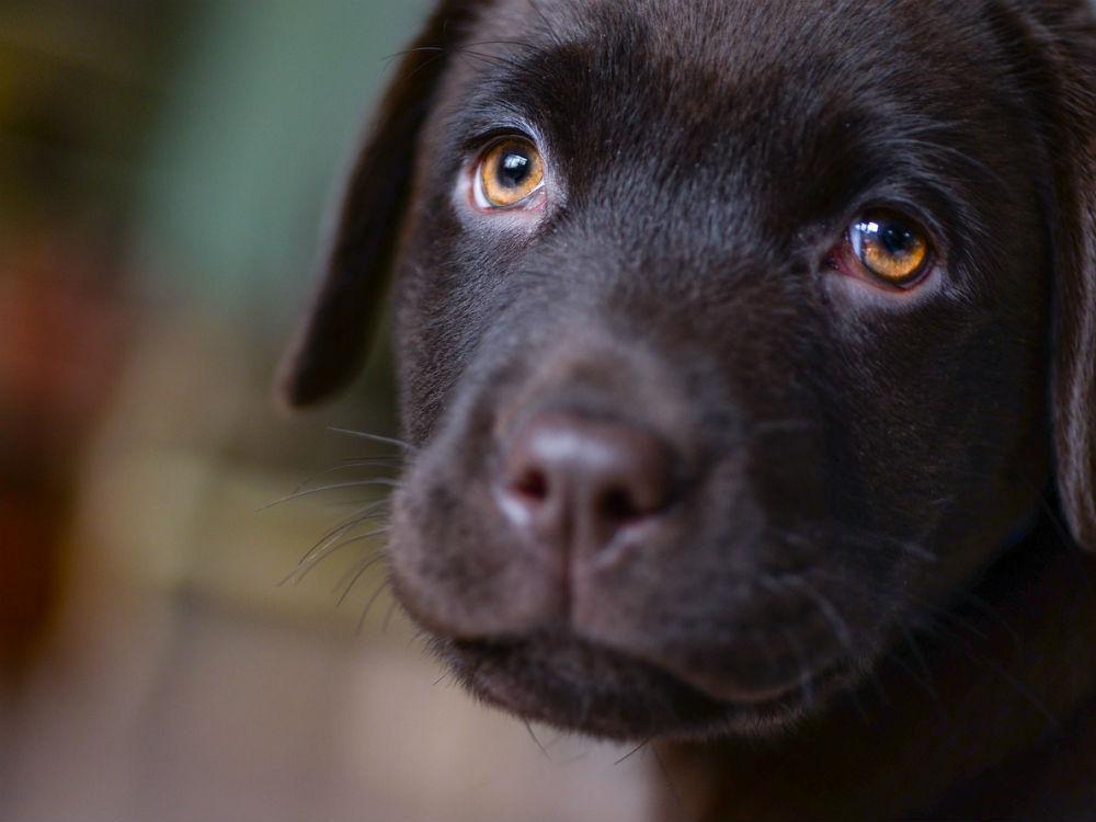 Que Pasa si mi Perro Tiene los Ojos Rojos