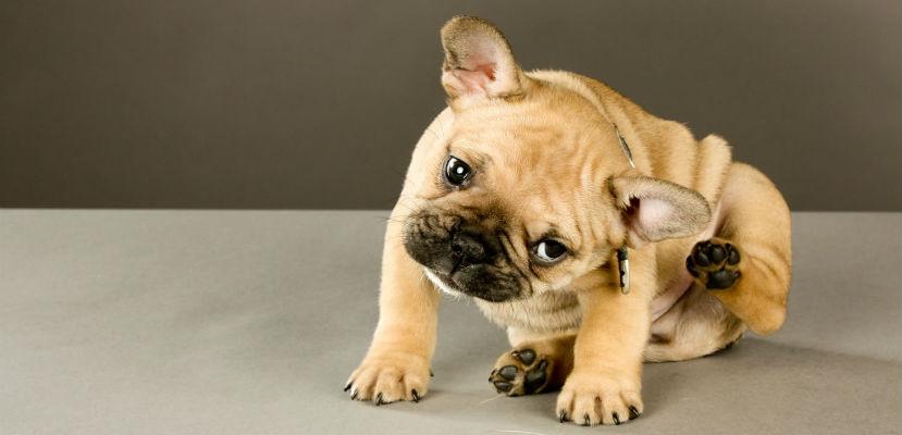 Remedio Casero Para mi Perro que se Rasca Mucho
