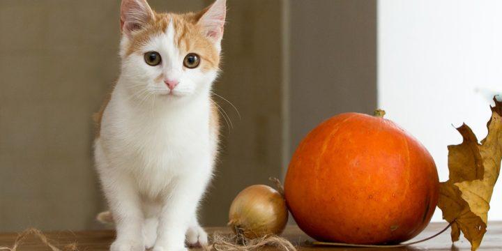 Si mi Gato Tiene Hepatitis me Puedo Contagiar