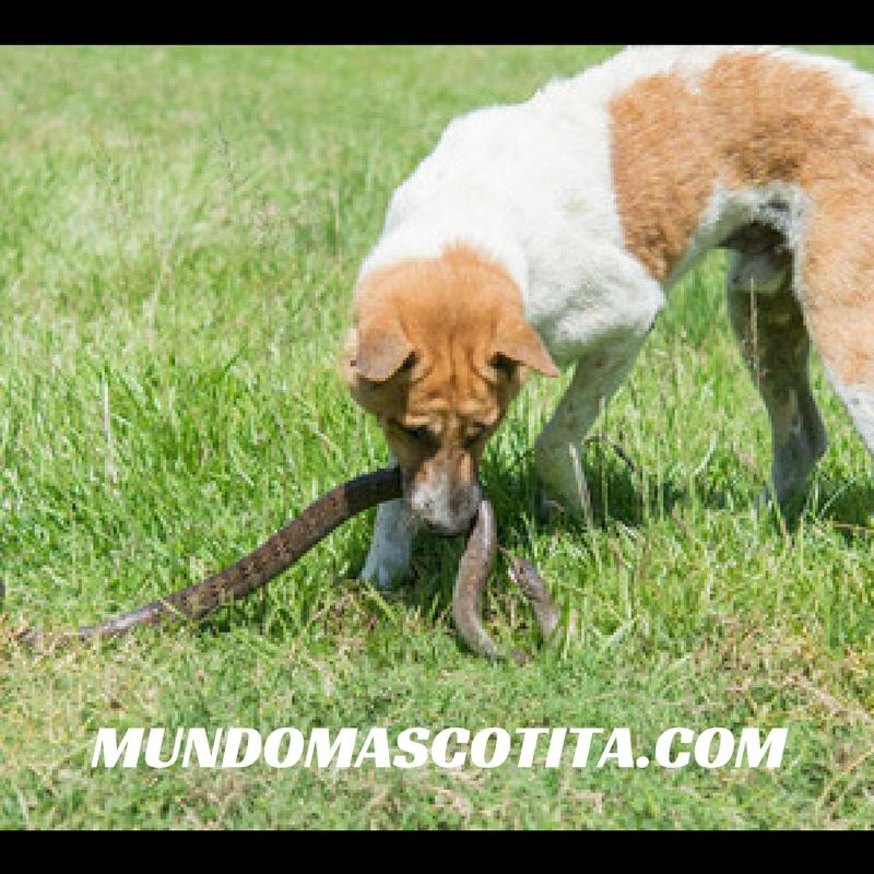 Acaros en los Perros Tratamiento