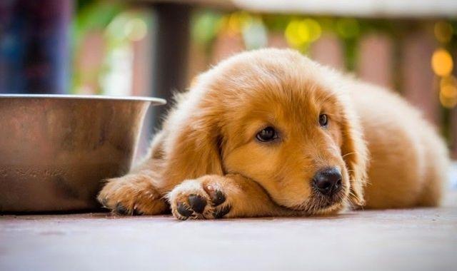 Alimentos que los Perros no Pueden Comer