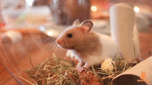 Como Hacer que Un Hamster No Muerda