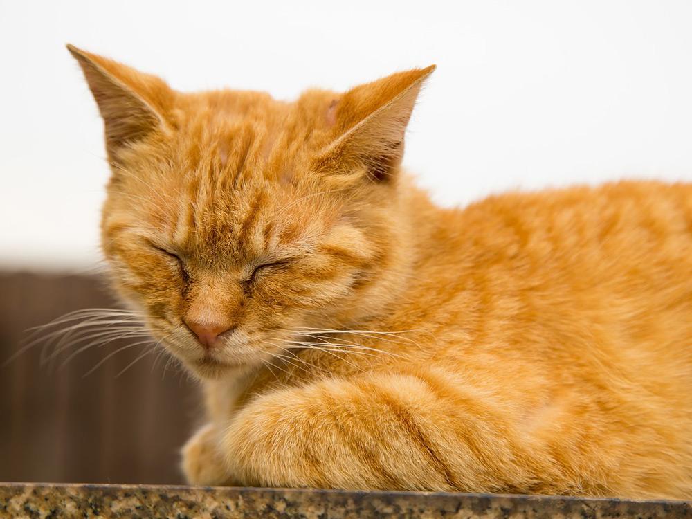Leucemia En Gatos Síntomas y Tratamientos