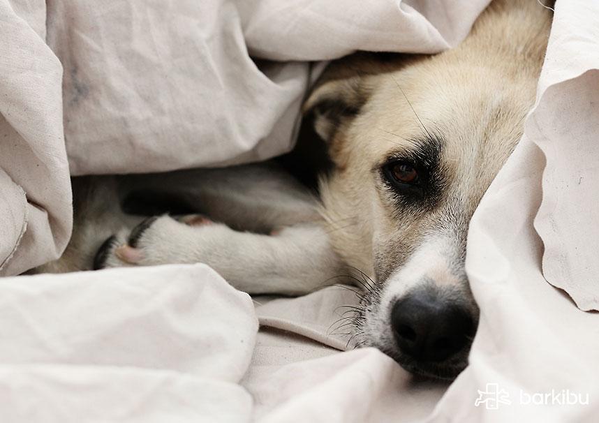 Mi Perro Duerme Mucho Tiempo y No Quiere Comer