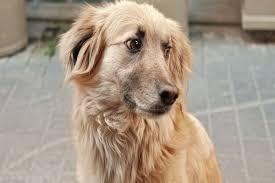 Mi Perro Tiene Fiebre Que Medicamento le Puedo Dar