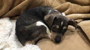 Calvas En Los Perros Causas Y Tratamientos
