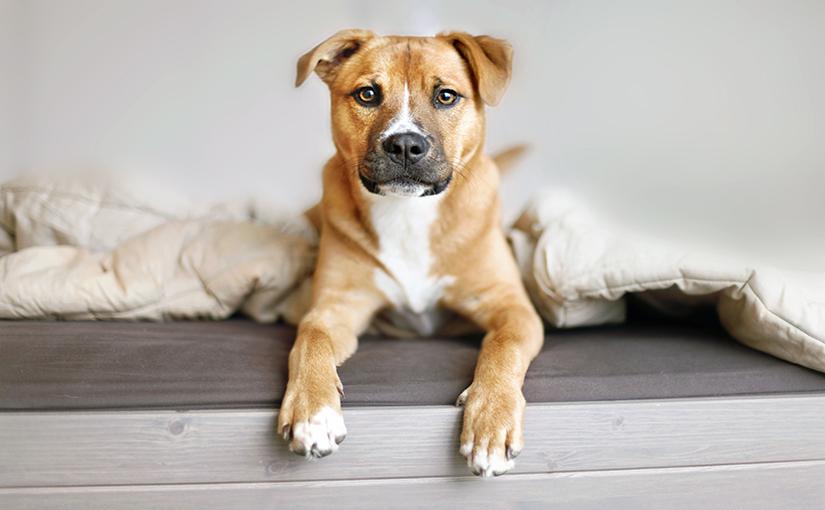 Erliquia En Perros Síntomas Y Tratamientos