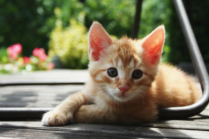 Ronroneo de los Gatos que Significa