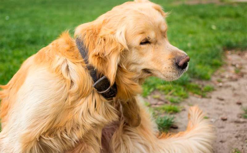 Tratamiento Para La Sarna En Perros