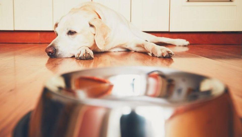 Diarrea Y Vómito En Perros Por Parásitos