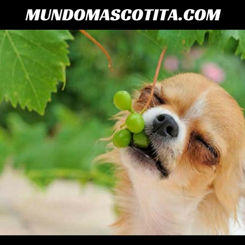 Los Perros Pueden Comer Uvas Verdes
