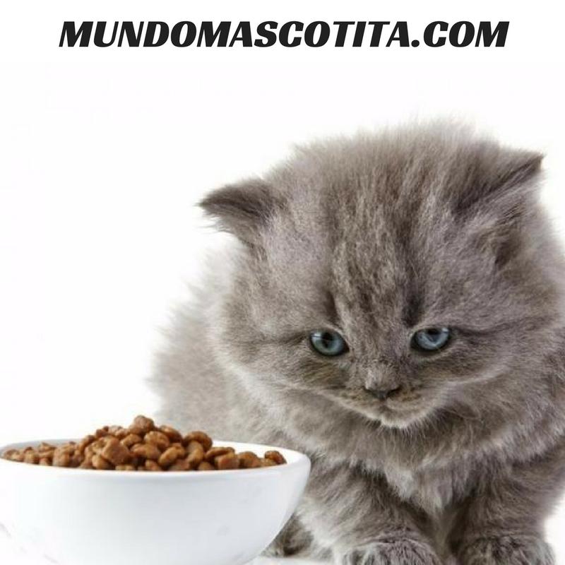 Que Come Un Gato De Un Mes