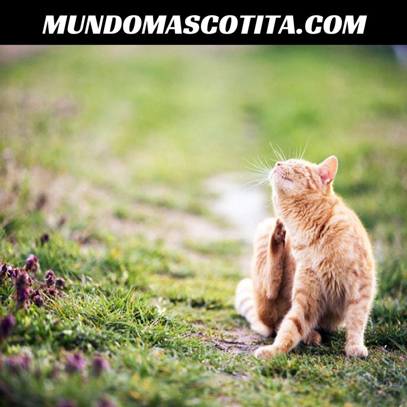 Remedios Caseros Para Pulgas En Gatos
