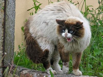 Síntomas Para Saber si mi Gato Tiene Rabia