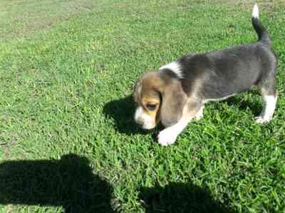 Como Saber Si Mi Cachorro Beagle Es Original