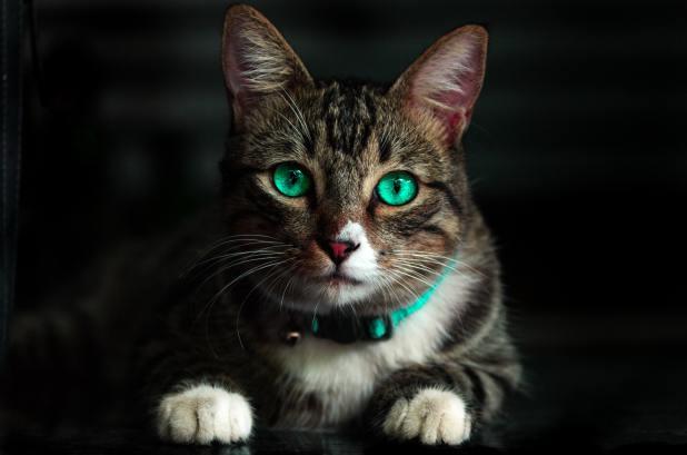 Es Cierto Que los Gatos Absorben la Energía Negativa