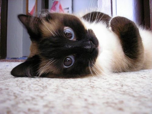 Es Cierto que los Gatos Causan Asma