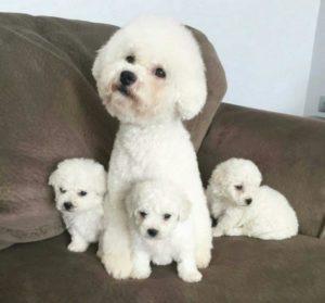 Los Perros French Poodle Son Agresivos