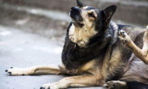 Los Perros Tienen Piojos o Pulgas