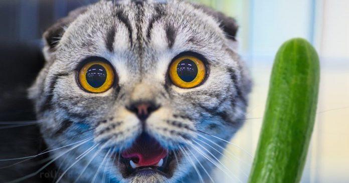 Porque los gatos le Tienen Miedo a los Pepinos