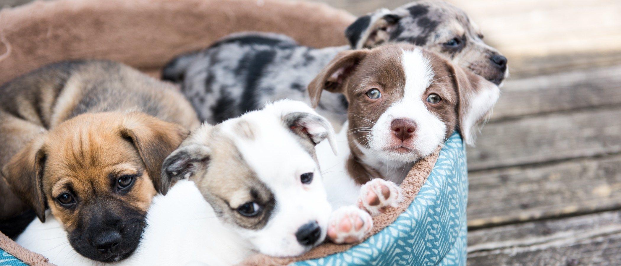 Un Perro Hasta Que Edad Es Cachorro