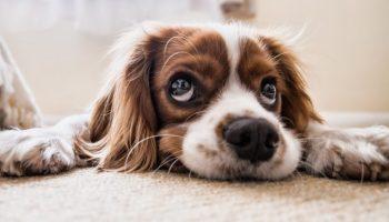 Ansiedad En Perros Síntomas