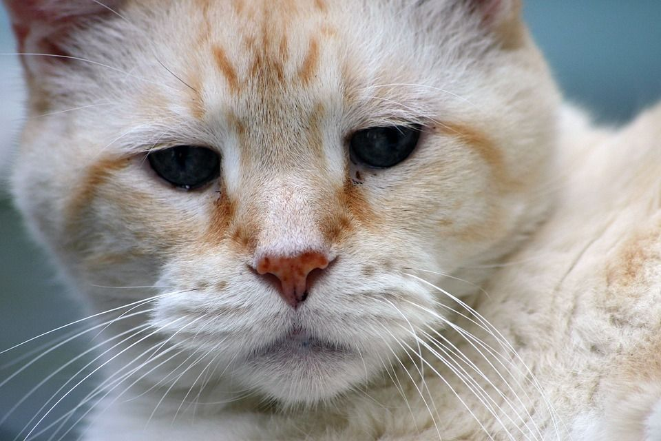 Antibióticos Para Gatos Resfriados