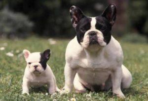 Cachorro Bulldog Francés Características