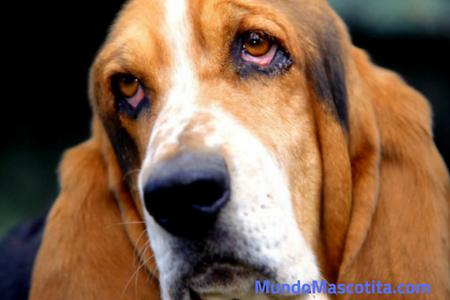 Demencia Senil Perros Síntomas