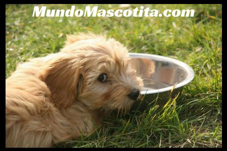 Diabetes Insípida Perros Tratamiento