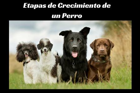 Etapas de Crecimiento de un Perro