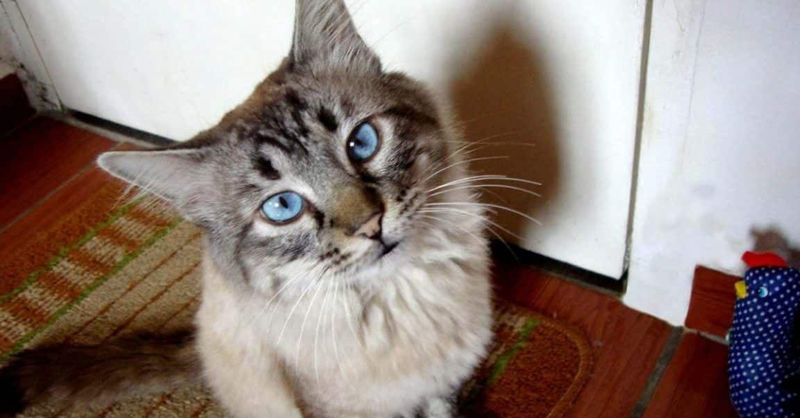 Gatos Vómitos (Causas Y Remedios)