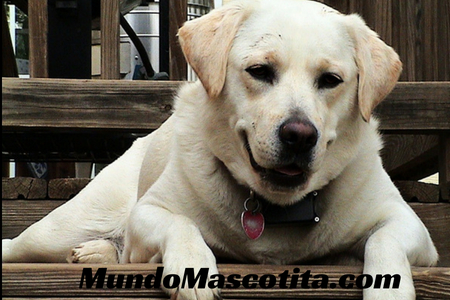 Información Sobre el Perro Labrador