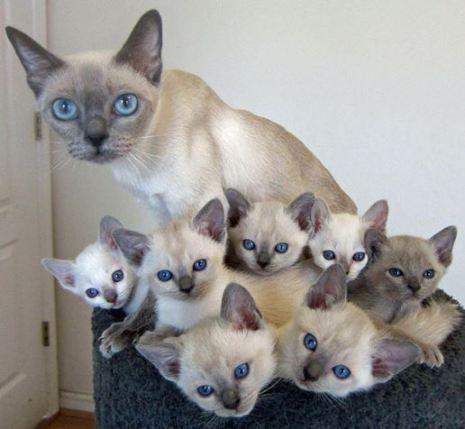 Las Gatas Pueden Quedar Embarazadas Sin Estar en Celo