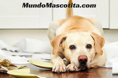 Mi Perro se ha Comido un Calcetin que Debo Hacer