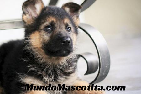 Pienso para Cachorros Pastor Alemán