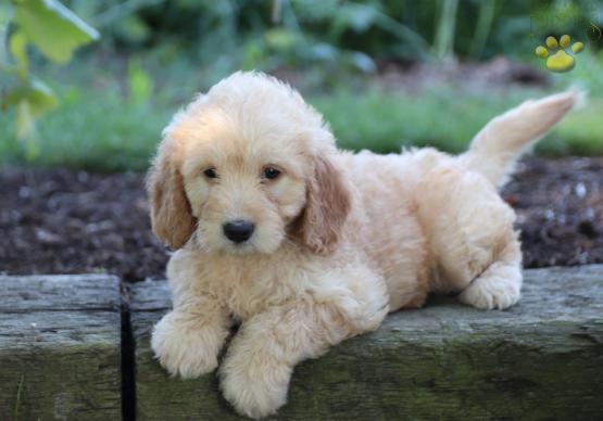 Razas de Perros Pequeños Para Tener Dentro de Casa