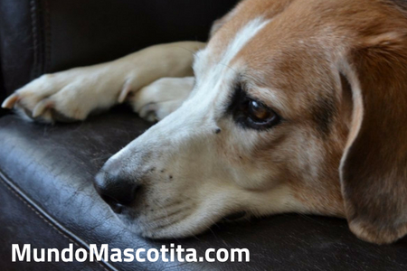 Se le Puede dar Paracetamol a un Perro Con Fiebre