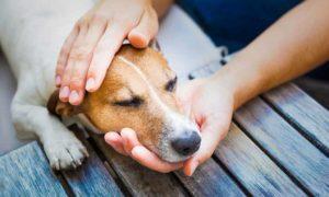Se le Puede dar Paracetamol a un Perro para el Dolor