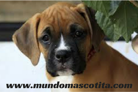 Boxer Perro Potencialmente Peligroso