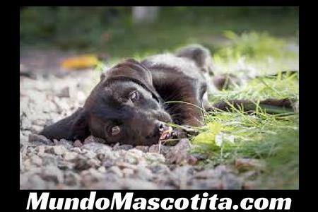 Cuanto Pesara Mi Cachorro Mestizo