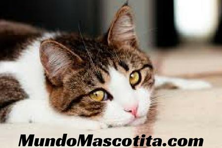 Gato con Sida y Leucemia