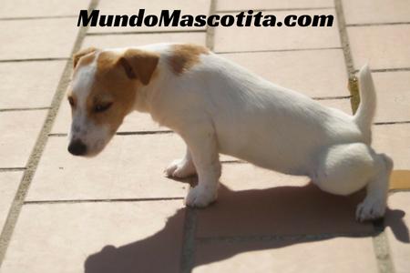 Infección Orina Perros Amoxicilina Dosis