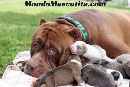 Información Sobre el Perro Pitbull