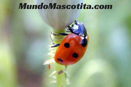 Insecto Parecido a la Mariquita